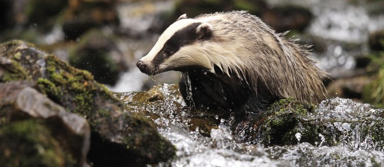 Can humans catch TB from badgers?